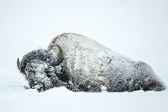 """Each winter, I lead a photography group to Yellowstone National Park. At the top of most participant's list is an image of a """"frosty bison."""" This iconic image usually involves a large bull bison standing near a hot spring, covered in frosty crystals..."""