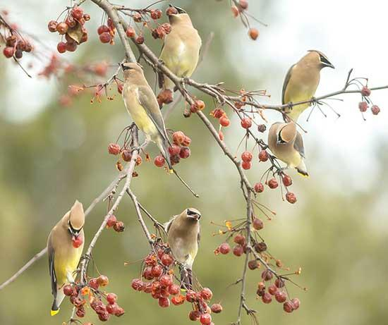 Each year, I participate in at least one, but usually two, Christmas Bird Counts. What is a Christmas Bird Count you say? Well the Christmas Bird Count (CBC) all started a long time ago, in a galaxy far, far away. Wait, no that is not right, that is...