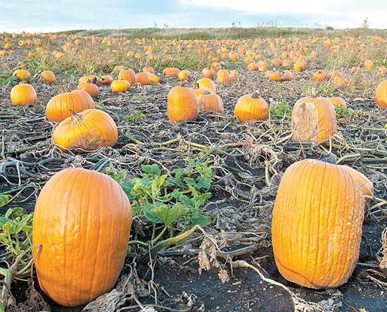 At this time of year, you can't help but to think about pumpkins. It is a strange plant, with a huge fruit growing on a flimsy vine. Let's take a look at this interesting plant.The pumpkin is the oldest-known cultivated plant in the New World....