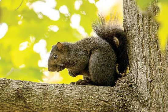 I often enjoy the more common side of nature. The nature in our own backyards or neighborhood park. The nature that we see every day but seems to go unnoticed because it's so common. For example, the eastern gray squirrel (Sciurus carolinensis), is...