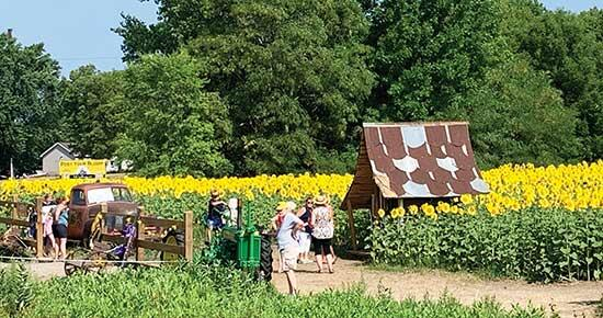 The fields surrounding the Allina Crossroads Clinic in Buffalo were a popular location this past weekend, as the sunflowers continued to bloom. The fields, which opened Tuesday, July 20 to the public, displayed even more bright yellow flowers that...