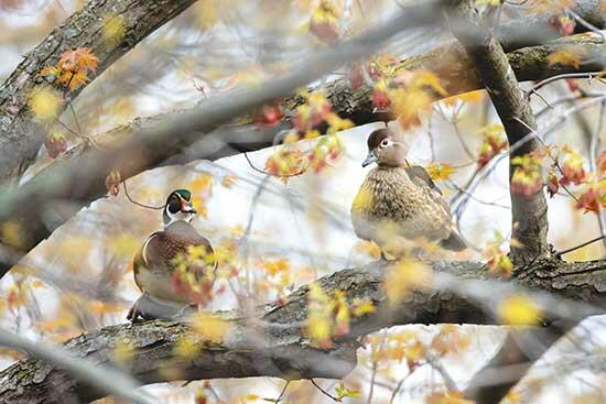 Spring is a wonderful time of year, especially right after the thick ice of winter melts off the ponds and small lakes. And, just like magic, as soon as the water is open, the ducks show up. For me, the first ducks of spring are the wood ducks (Aix...